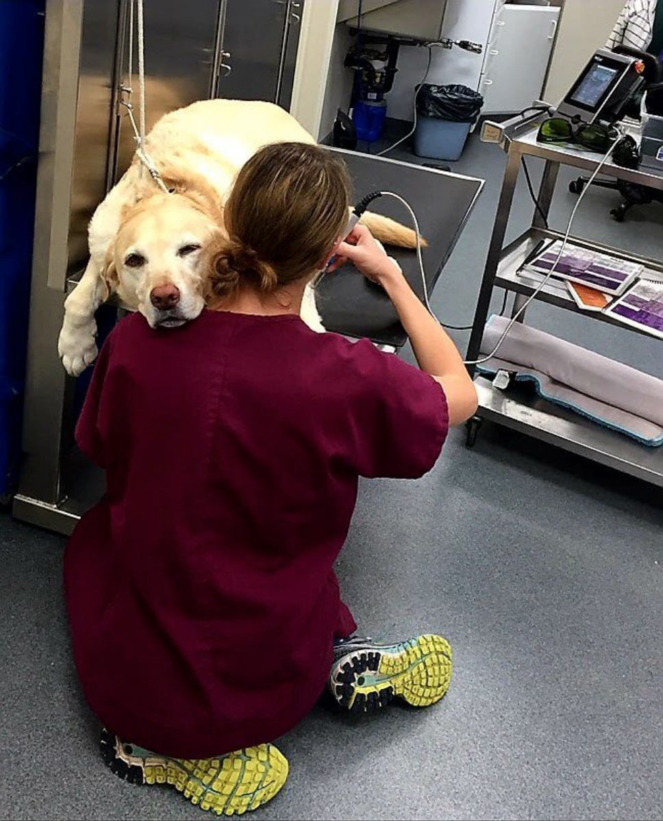 Yellow Labrador Retriever receives a laser acupuncture treatment at Quarry Ridge Animal Hospital