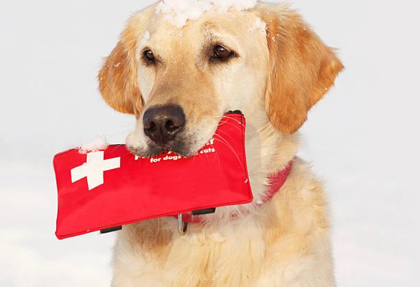 Golden Retriever holding a pet first aid kit